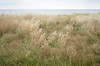 Grass at the Naze