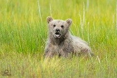 Spring Cub Showing Off its Teeth photo by Glatz Nature Photography