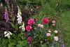 rose dames de Chenonceau de Delbard