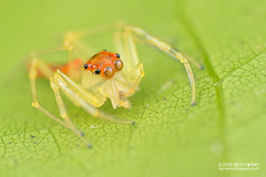 Jumping spider (Viciria sp.) - DSC_4152 photo by nickybay