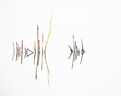 Reeds photo by DickieK