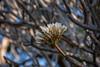 Frangipanier (Plumeria sp.)