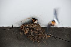 Swallows 燕子 photo by Melinda ^..^