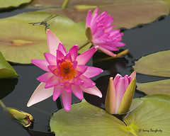 Water lilies with a little visitor......D800 photo by Larry Daugherty ~ very slow for several days