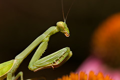 Praying Mantis, Coneflower - [Explore] photo by duncande150