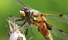 Four Spotted Chaser ?Macro photo by riggy-riggo