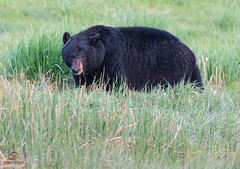 Yellowstone Black Bear Foraging photo by Glatz Nature Photography