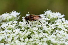 bee on queen anne's lace photo by mainesandy