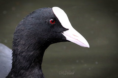 Coot photo by maggie230