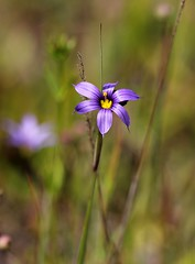 Blue-Eyed Grass - Sisyrinchium bermudiana [EXPLORED] photo by jeannie debs (Thank you all for your comments/fave