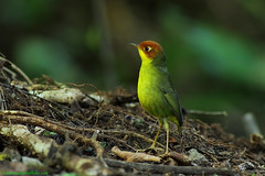 Chestnut-headed Tesia / Tesia castaneocoronata / นกจุนจู๋หัวสีตาล photo by bambusabird