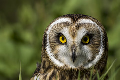 Short-eared owl photo by hehaden (away for 2 weeks)
