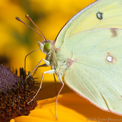 Orange or Clouded Sulphur photo by GAPHIKER