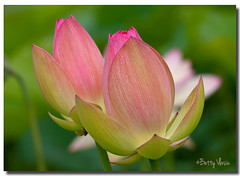 Pink Lotus Flower photo by Betty Vlasiu