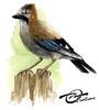 Aquarelle Oiseau Geai des Chenes