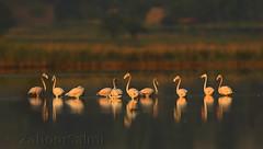 Greater Flamingo photo by Zahoor-Salmi