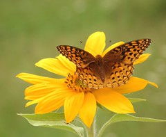 ~ fritillary ~ photo by Lisa Holder NC