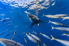 Great white shark framed by mackerel scad photo by George Probst