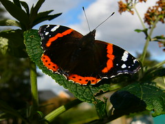 Red Admiral butterfly photo by stuartcroy