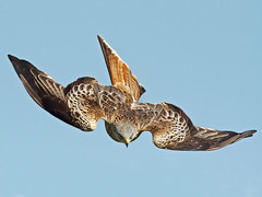 Red Kite - Milvus milvus photo by normanwest4tography