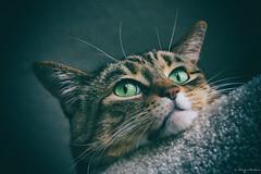 297/365 - Kona Kitty Portrait photo by Keeperofthezoo