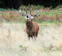 RED STAG RUTTING *EXPLORED* 1 photo by jill lamb 53 1MILLION VIEWS THANK YOU