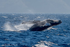 Humpback Whale photo by Tom Nord