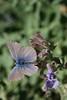 papillon Argus bleu céleste, le bel Argus, Lysandra bellargus