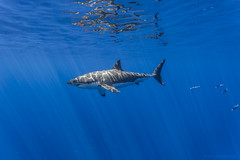 Male great white shark left side photo by George Probst