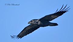 Raven photo by PETEJLB