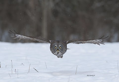 GREAT GRAY OWL - 060a photo by AIR BUS