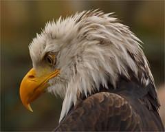 Humble Bald Eagle photo by Foto Martien