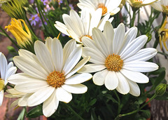 Happy Daisies, Adelaide_0183 photo by Rikx