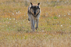 Wolf running in  GSC_9539 photo by Sandozer