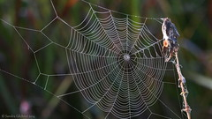 Dew covered Spider Web photo by Sandra_Gilchrist
