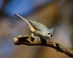 Tufted Titmouse photo by Denise Pelley