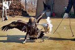 Falconry in China photo by Sanka G. Vidanagama