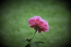 Rose - Oct 2014 photo by Blanca Rosa2008 - Thanks for Views