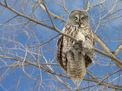 Great Grey Owl #2 photo by nantel