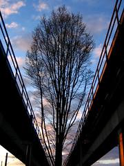 Tree intersecting SkyTrain tracks