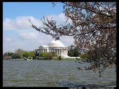 jefferson_mem_cherry_blossom
