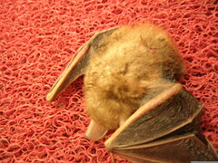 furry dead bat