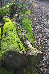 The dead Trees are still green