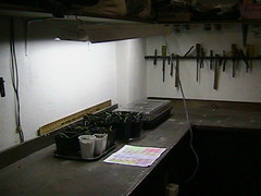 seedlings with flourescent lights