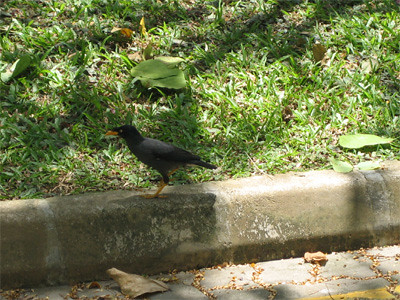 That yellow billed black bird