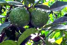 Keffir limes