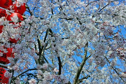 weeping-cherry (shidare-sakura)