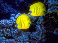 peces amarillos