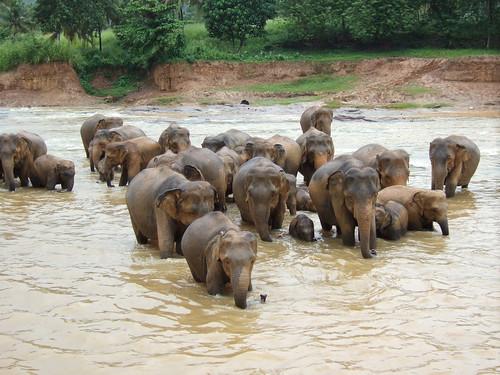 l8tebird's elephant herd