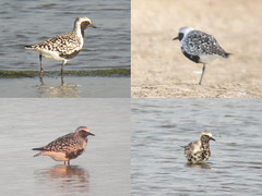 Grey Plovers, Castro Marim (Portugal), 28-Apr-06